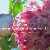 Pink Blemish Peony Papaver Somniferum Poppy Flower Seeds