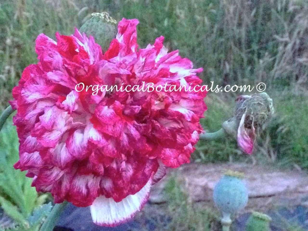 Pink Blemish Peony Papaver Somniferum Poppy Seeds