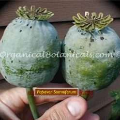 Hollanbruner Blaumohn Papaver Somniferum Poppy