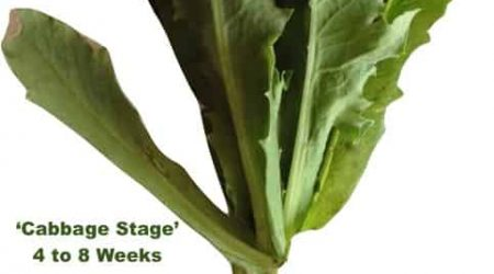 Papaver Somniferum Plant Cabbage Stage and Root Growth