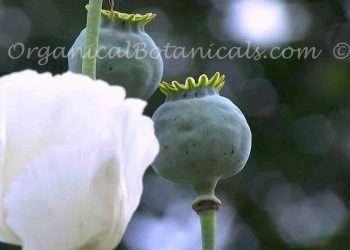 RARE Unwashed White Somniferum Poppy Seed - Ikkanshu
