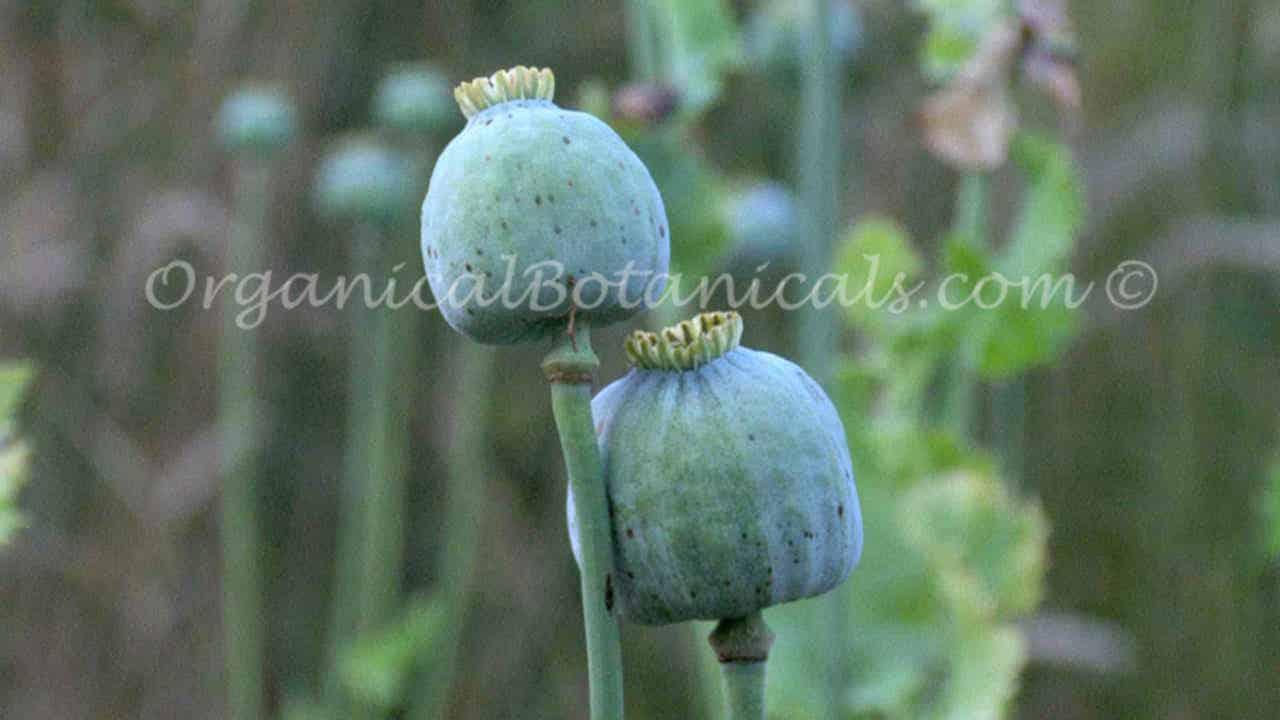 White Papaver somniferum Unwashed Opium Poppy Seeds Japanese Ikkanshu Variety BULK Wholesale