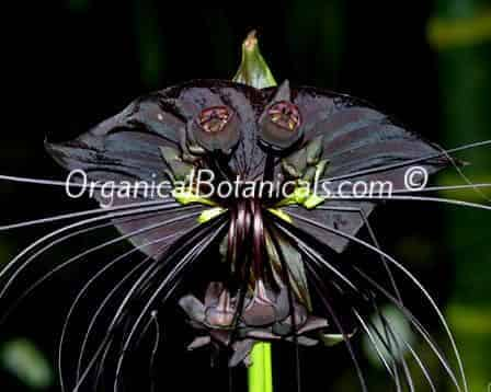 Black Bat Plant Seeds -RARE- Tacca Chantrieri Flower