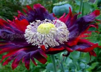 Buy Unwashed Viable Papaver Somniferum Opium Poppy Seeds from OrganicalBotanicals.com