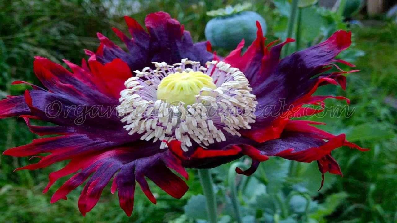 Buy Unwashed Viable Papaver Somniferum Opium Poppy Seeds from OrganicalBotanicals.com