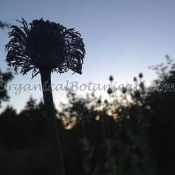 Papaver Somniferum Opium Poppies - Seeds via OrganicalBotanicals.com