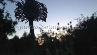 Papaver Somniferum Opium Poppies - Seeds via OrganicalBotanicals.com