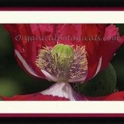 3_usa-flag-papaver-somniferum-poppy-photo-jordan-w