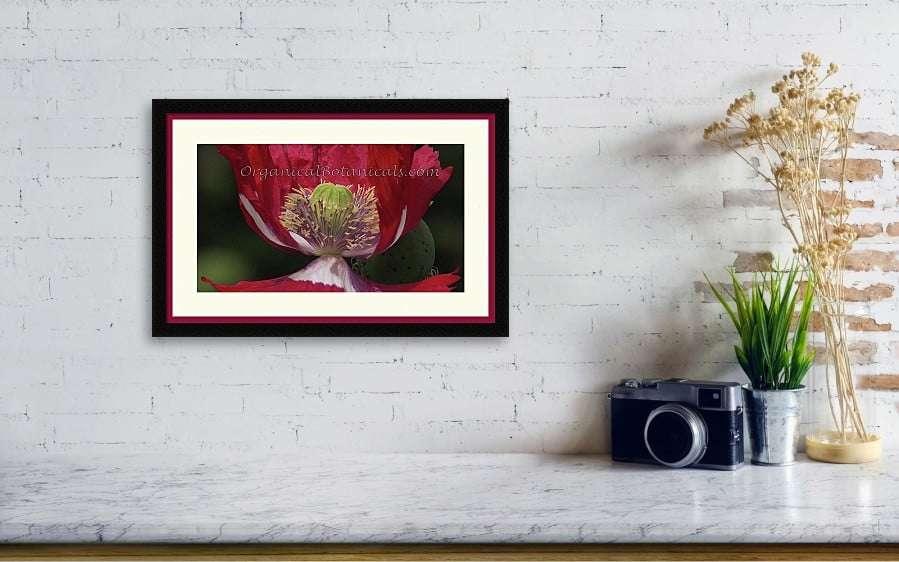 4-usa-flag-papaver-somniferum-poppy-photo-Organical-Botanicals