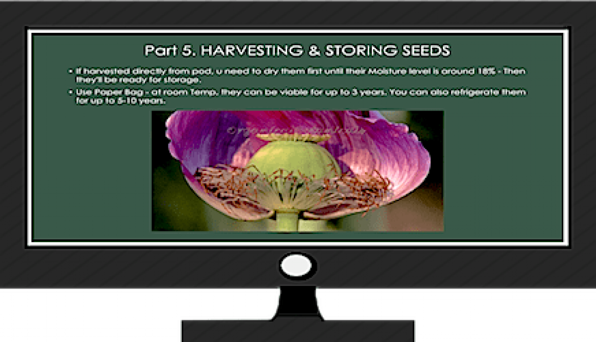 Grow Poppies in 5 Stages - Stage 5