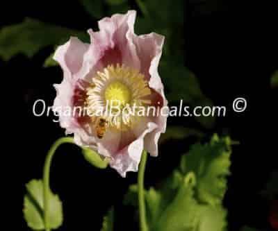 Papaver Somniferum Poppy