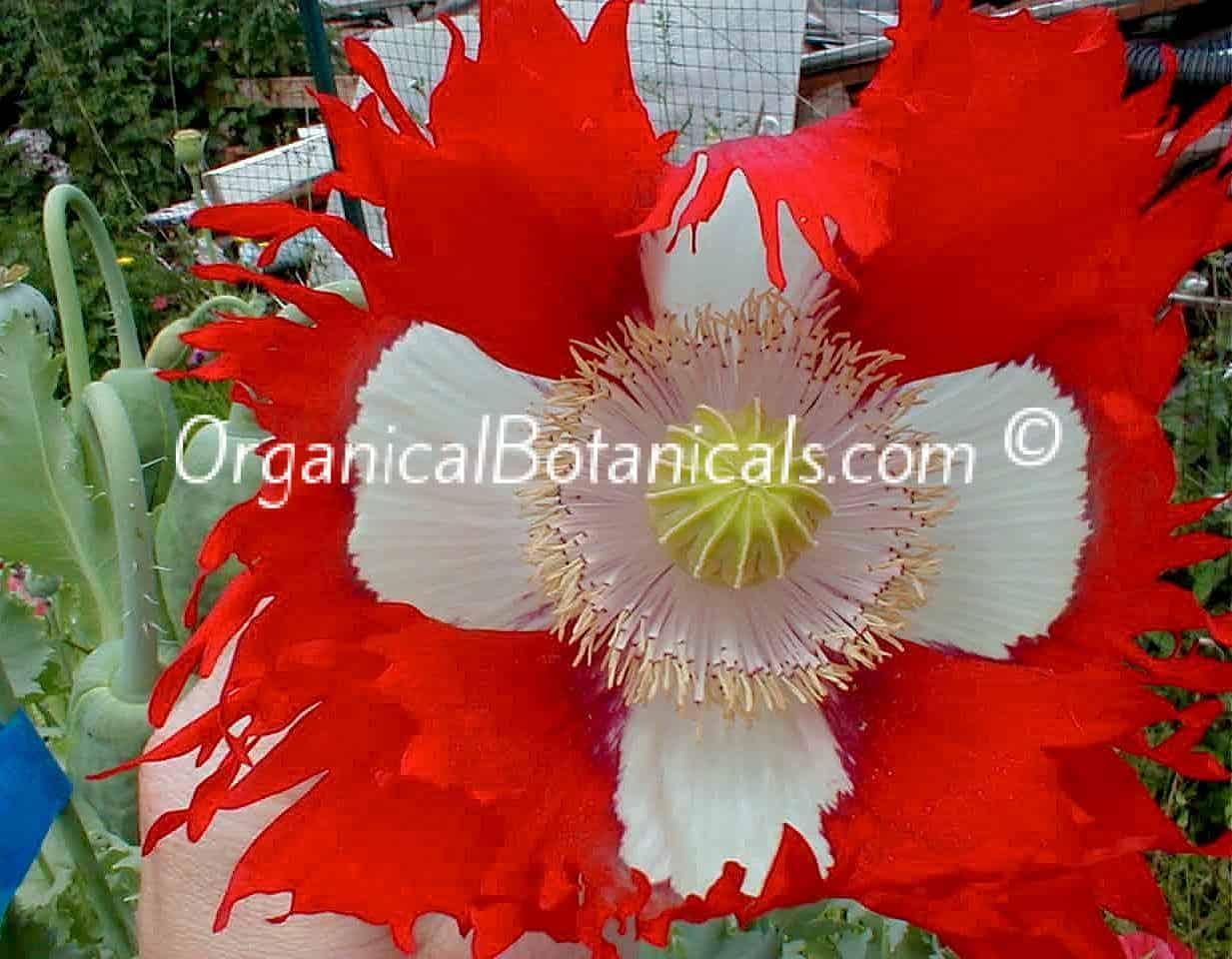 Danish Flag-Papaver Somniferum Poppy Flower