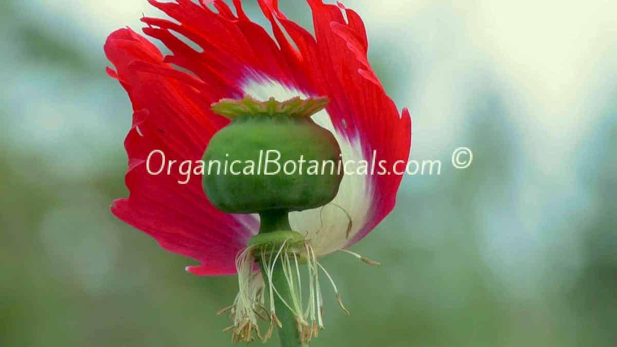 Danish Flag Red N White Somniferum Poppy Seeds