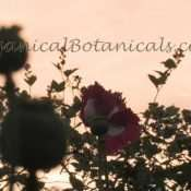 Danish Flag Papaver Somniferum Opium POPPY Pods n Flowers by- OrganicalBotanicals_Com 22