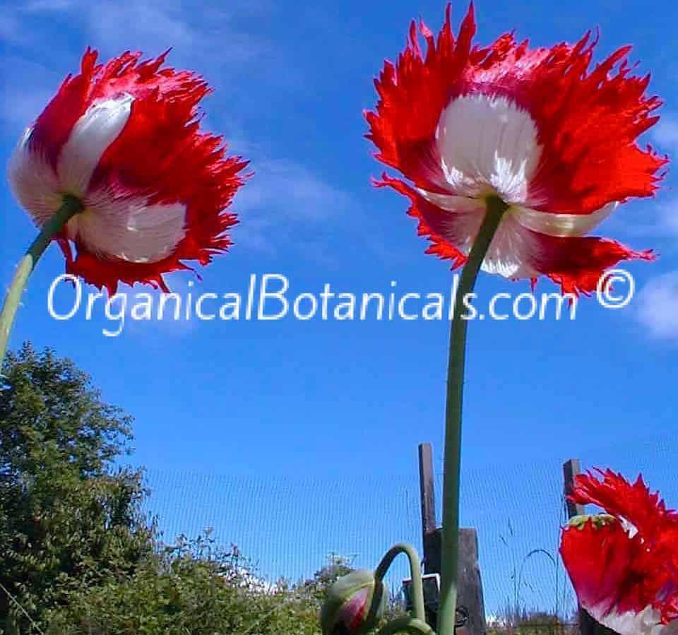 Danish Flag double Papaver Somniferum Poppy Flowers