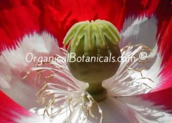 Danish Flag - RED n WHITE Somniferum Poppy Seeds