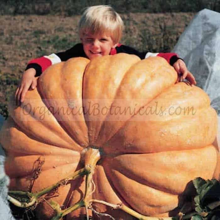 Dill's Atlantic GIANT Pumpkin - Untreated or Treated Seeds