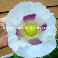 GIGANTEUM Papaver Somniferum GIANT Poppy