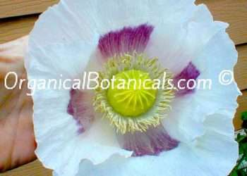* GIANT Poppy Mix * Seed Pack | ALL Papaver somniferum