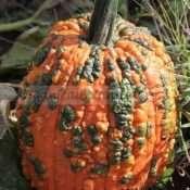 Gargoyle Warted Pumpkin Seed - Treated