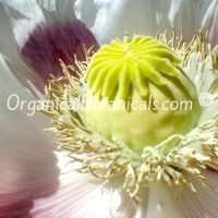 Giganteum-Flower2