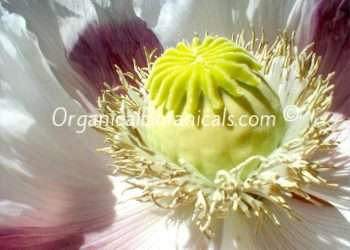 Giganteum Papaver Somniferum Poppy Seeds - GIANT PODS