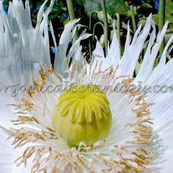 Heirloom White Somniferum Poppy Flower