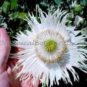 Heirloom White Somniferum Poppy Seeds - 'Polish Pulawski'