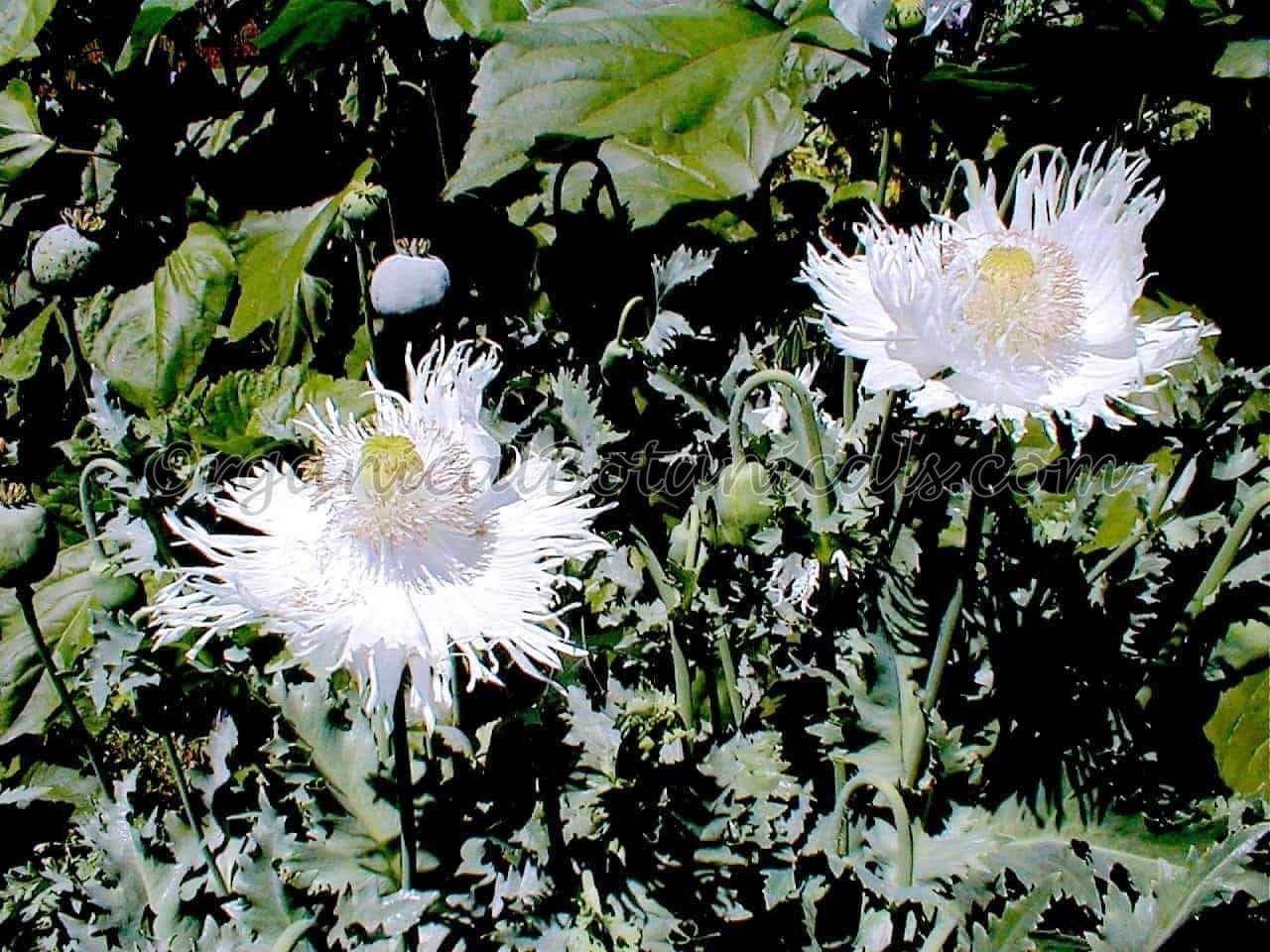 Heirloom White Somniferum Poppy Flowers