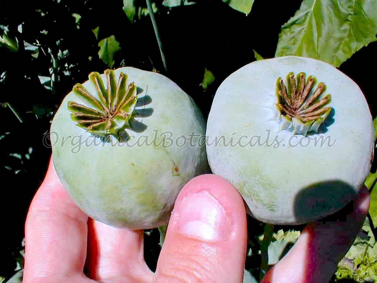 Heirloom White Somniferum Poppy Seed Pods