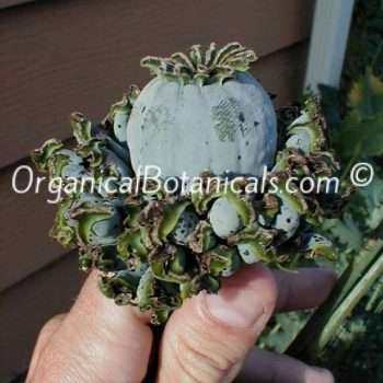 Hens and Chicks Poppies Papaver Somniferum Poppy Pod