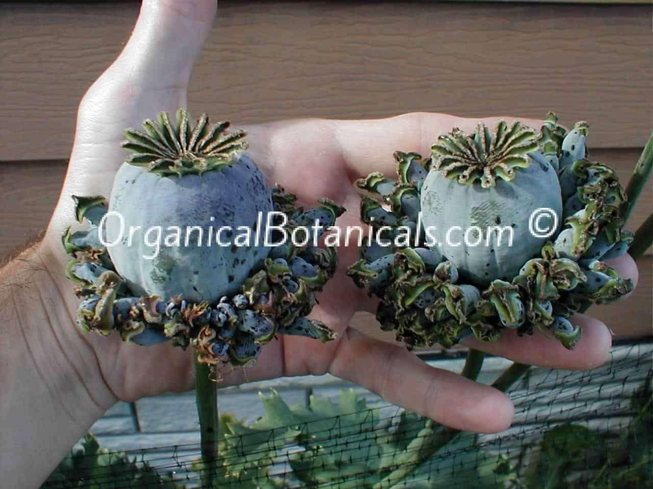 Hens and Chicks Poppies Papaver Somniferum Poppy Pods