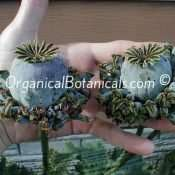 Hens and Chicks Poppies Papaver Somniferum Poppy Pods