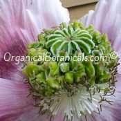 'Izmir Hens n Chicks' Somniferum Poppy Seeds -Unique Pod