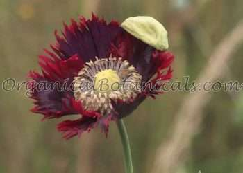 Papaver Somniferum Poppy - Seeds via OrganicalBotanicals.com