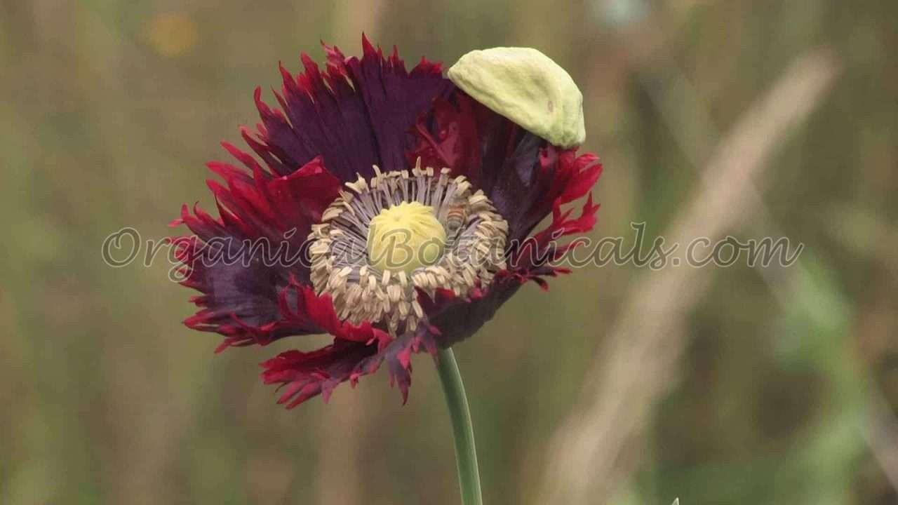 Papaver Somniferum Poppy - Seeds via OrganicalBotanicals.com