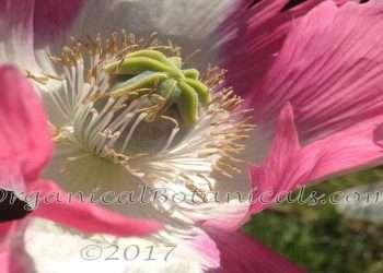 Izmir Afghan GMO Somniferum Poppy *Special* Seed -Album 'Galania' 2021