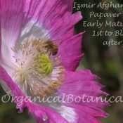 Izmir Afghan GMO Opium Poppy Flower 1st Bloom of 2016 Keeping Bees Busy 2