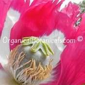 Izmir Afghan Papaver Somniferum Poppy Flower