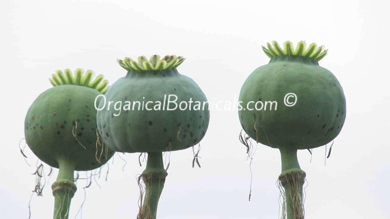 Izmir Afghan Papaver Somniferum Poppy Pods