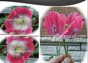 'Izmir Asian OB' Papaver Somniferum Poppy Seeds ~ Izmir Farms ~