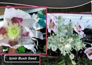 'Izmir Bush' Papaver Somniferum Poppy Seed - Izmir Farms