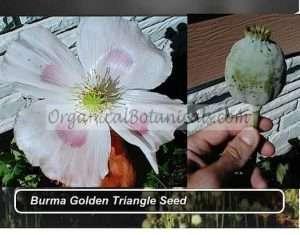 Golden-Burma-triangle