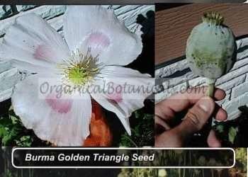 Izmir 'Burma Golden Triangle' Papaver Somniferum Poppy Seeds