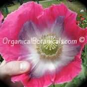 Jumbo Turkish Oval - Papaver Somniferum Poppy Seeds