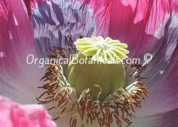 Jumbo Turkish Oval - Papaver Somniferum Poppy Seeds