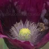 Laurens Grape Single Black somniferum Poppy Seeds