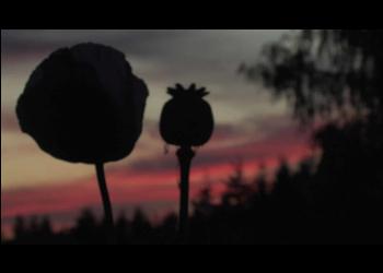 OrganicalBotanicals_com-Papaver-Somniferum-Silhouette-Photo-Background-3_printfile_default_16x20