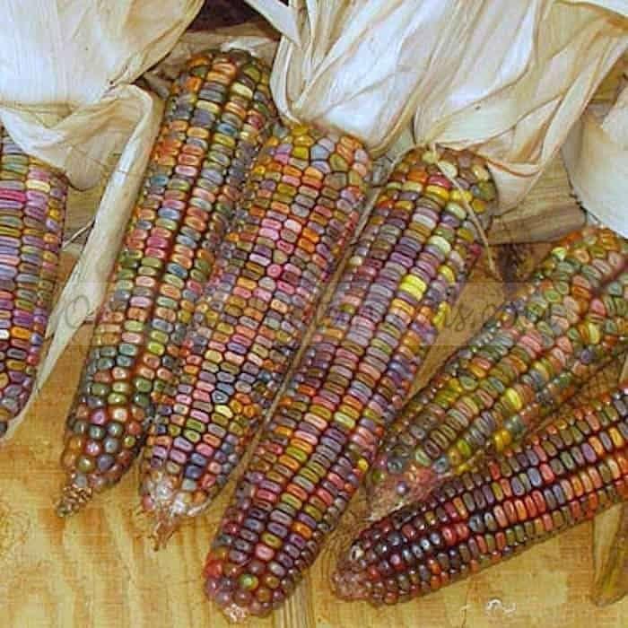 Ornamental Dented Corn Earth Tone Pastels