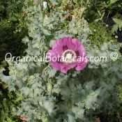 Over 75 Seed PODS ONE Poppy Plant